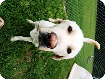 Labrador Retriever Dog for adoption in Watauga, Texas - Astro