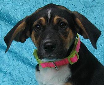 Catahoula Leopard Dog/Beagle Mix Dog for adoption in Cuba, New York - Blossom Warner-Smith