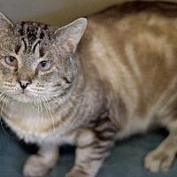 Siamese Cat for adoption in Park City, Utah - Manny