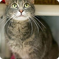 Adopt A Pet :: Sassy - declawed - Troy, MI