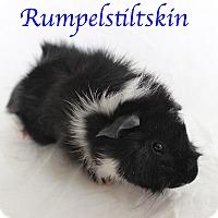 Adopt A Pet :: Rumpelstiltskin - Bradenton, FL