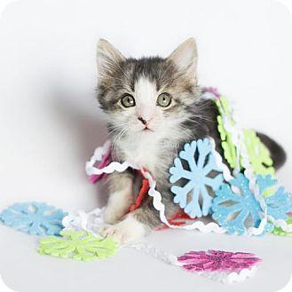 Domestic Shorthair Kitten for adoption in Oviedo, Florida - Dori