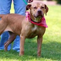 Adopt A Pet :: Brandy - Irmo, SC