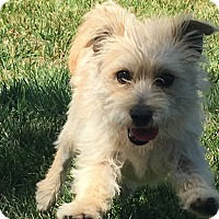 Terrier (Unknown Type, Small) Mix Dog for adoption in Pleasanton, California - Kirby - adoption pending