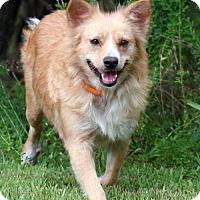 Australian Shepherd Mix Dog for adoption in Little Compton, Rhode Island - Trixie