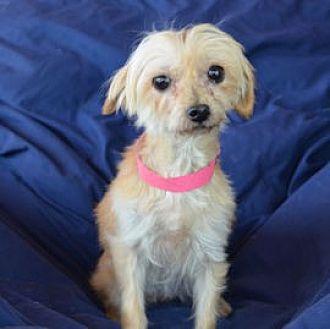 Yorkie, Yorkshire Terrier/Maltese Mix Dog for adoption in Pueblo, Colorado - Rosie