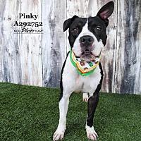 Adopt A Pet :: PINKY - Conroe, TX