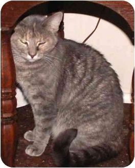 Domestic Shorthair Cat for adoption in Milford, Ohio - Rachel
