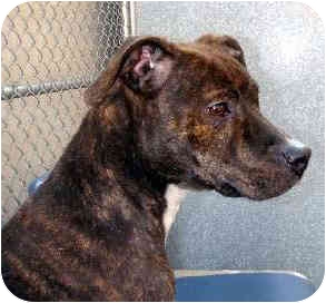 Staffordshire Bull Terrier Mix Dog for adoption in New York, New York - Ophelia