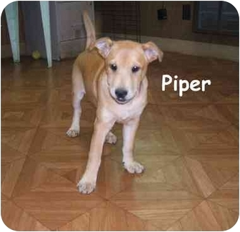 Terrier (Unknown Type, Medium) Mix Puppy for adoption in Big Canoe, Georgia - piper
