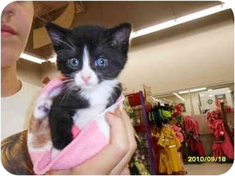 Domestic Shorthair Kitten for adoption in Frenchtown, New Jersey - Chrissy