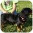 Photo 4 - Dachshund Dog for adoption in Portsmouth, Rhode Island - Princess