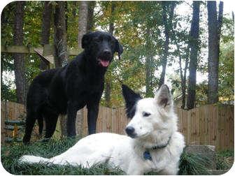Labrador Retriever/Spaniel (Unknown Type) Mix Dog for adoption in Marietta, Georgia - Apple