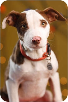 Pit Bull Terrier Mix Puppy for adoption in Portland, Oregon - Albert