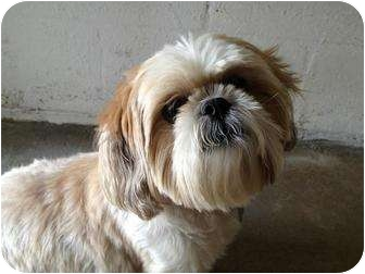 Shih Tzu/Poodle (Miniature) Mix Dog for adoption in Winter Haven, Florida - Koko