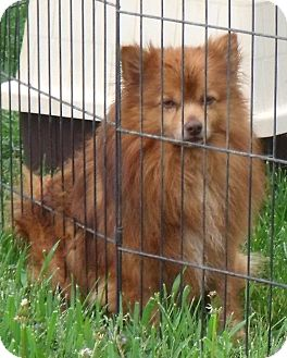 Pomeranian Dog for adoption in WYTHEVILLE, Virginia - Red