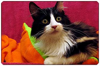 Domestic Longhair Cat for adoption in Sterling Heights, Michigan - Molly - ADOPTED!