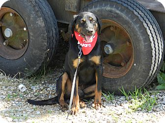 Black and Tan Coonhound/Shepherd (Unknown Type) Mix Dog for adoption in Lawrenceburg, Tennessee - Jasper