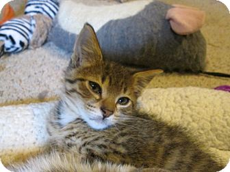 Domestic Shorthair Kitten for adoption in Richland, Michigan - Benny