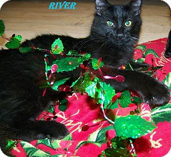 Domestic Mediumhair Kitten for adoption in Houston, Texas - River