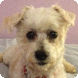 Bichon Frise Mix Dog for adoption in La Costa, California - Brady