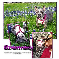 Adopt A Pet :: Gremmy - Irving, TX