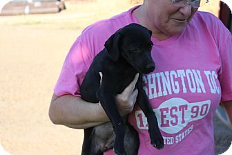 Labrador Retriever/German Shepherd Dog Mix Puppy for adoption in East Hartford, Connecticut - Stella-pending adoption