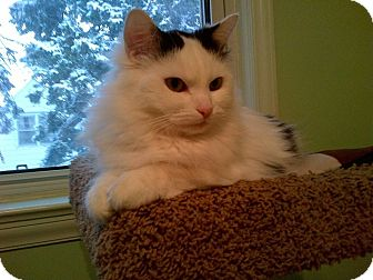 Domestic Longhair Cat for adoption in THORNHILL, Ontario - PATTY