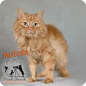 Domestic Longhair Cat for adoption in Broadway, New Jersey - Mufasa