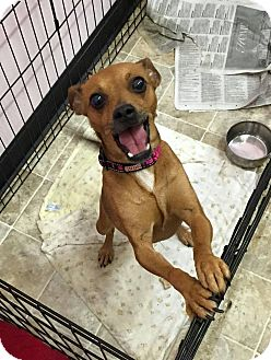Miniature Pinscher/Chihuahua Mix Dog for adoption in North Haven, Connecticut - Lady