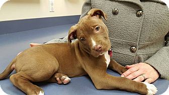 Pit Bull Terrier Mix Puppy for adoption in Cleveland, Ohio - Otis