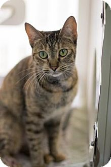 Domestic Shorthair Cat for adoption in Bradenton, Florida - Gimpy