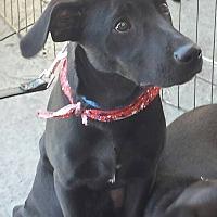 Labrador Retriever Mix Puppy for adoption in San Diego, California - Mickey