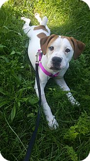 Beagle/Bulldog Mix Puppy for adoption in South Park, Pennsylvania - Justine
