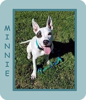 Staffordshire Bull Terrier/Terrier (Unknown Type, Medium) Mix Puppy for adoption in Dallas, North Carolina - MINNIE