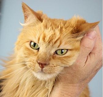 Domestic Shorthair/Domestic Shorthair Mix Cat for adoption in Palm Springs, California - Rusty