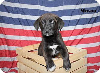 Labrador Retriever/Shepherd (Unknown Type) Mix Puppy for adoption in Westminster, Colorado - Mason