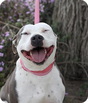 American Pit Bull Terrier Dog for adoption in Fresno, California - Anna