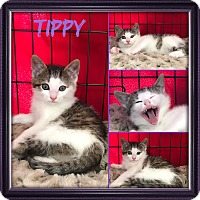 Adopt A Pet :: Tippy - Jeffersonville, IN