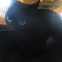 Adopt A Pet :: Panther Lily - Orlando, FL
