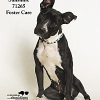 Adopt A Pet :: Sunshine (Foster Care) - Baton Rouge, LA
