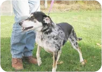 Australian Cattle Dog/Blue Heeler Mix Dog for adoption in Lake Odessa, Michigan - Blue