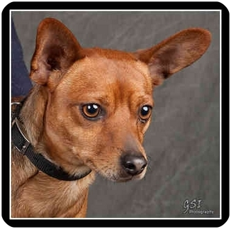 Miniature Pinscher Dog for adoption in Columbus, Ohio - Charlie