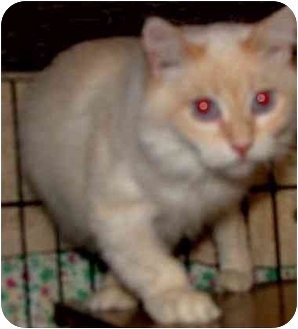 Ragdoll Cat for adoption in Dallas, Texas - Bris