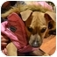 Photo 1 - American Pit Bull Terrier/Labrador Retriever Mix Dog for adoption in Cincinnati, Ohio - Norma Jean Palowski