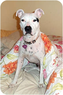 American Pit Bull Terrier Mix Dog for adoption in Huntington, New York - Abigail