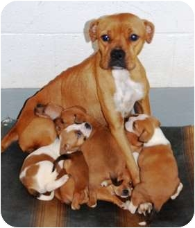 Boxer Mix Dog for adoption in Turnersville, New Jersey - Honey & her pups