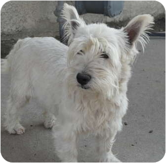 Westie, West Highland White Terrier Mix Dog for adoption in Santa Ana, California - Allie