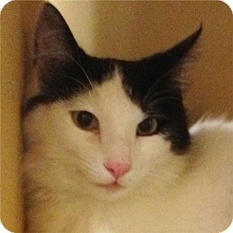 Domestic Shorthair Cat for adoption in Weatherford, Texas - Buddy