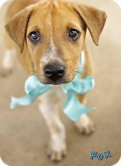Labrador Retriever Mix Dog for adoption in Corpus Christi, Texas - Fox